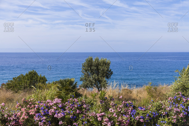 Italy- Province of Imperia- San Remo- Flowering bushes with clear line of horizon over Mediterranean Sea in background