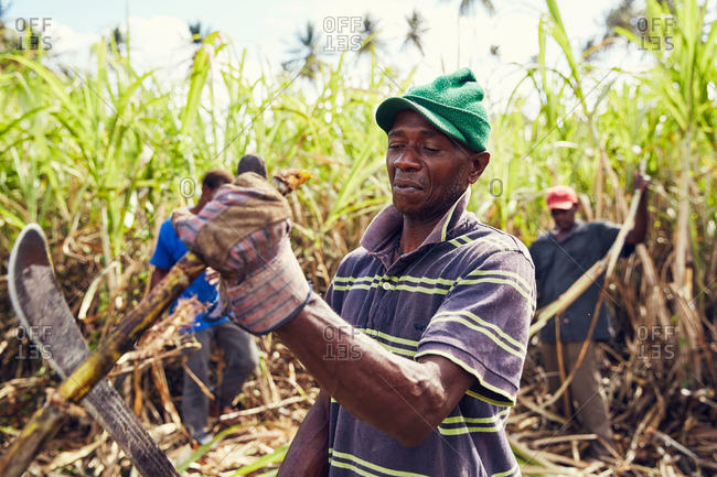 Grenada, Caribbean Islands - February 26, 2019: Distillery workers collecting bamboo shoots