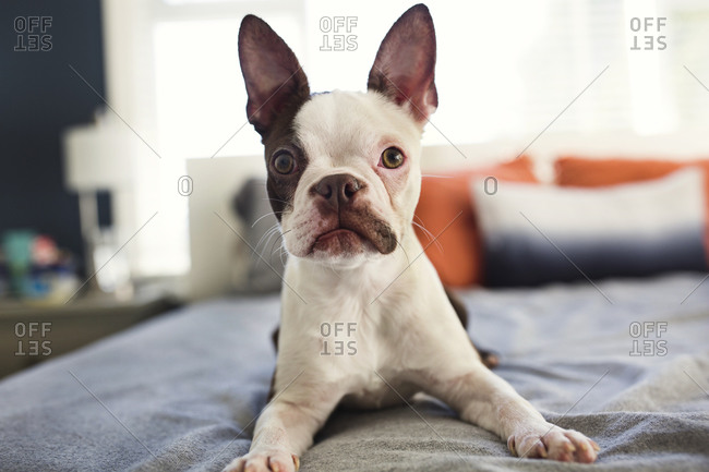 Brown and white Boston Terrier on a bed