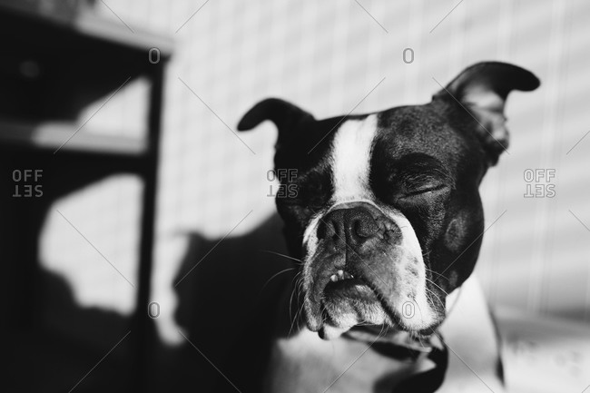 A Boston Terrier sitting in the sunshine with eyes closed in black and white