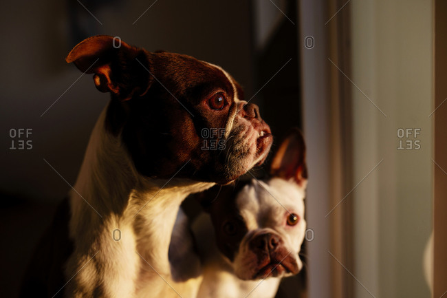 Two Boston Terriers by window at sunset