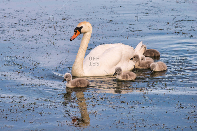 Swan with cygnets in a lake
