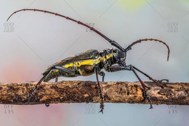 Close-up of a longhorn beetle on a branch, Indonesia