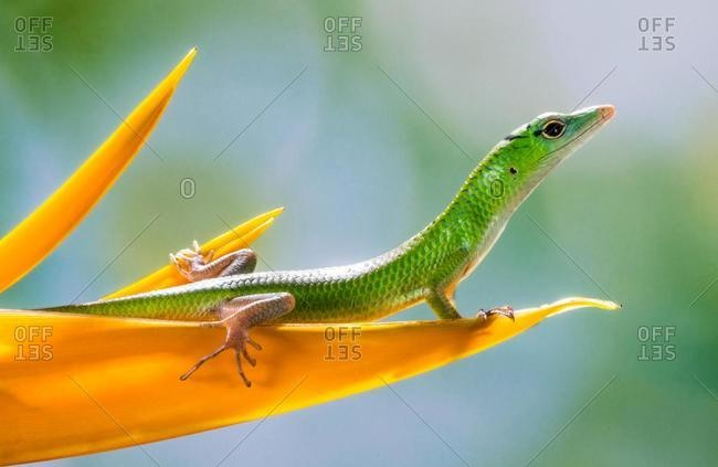 Portrait of a lizard on a flower petal, Indonesia