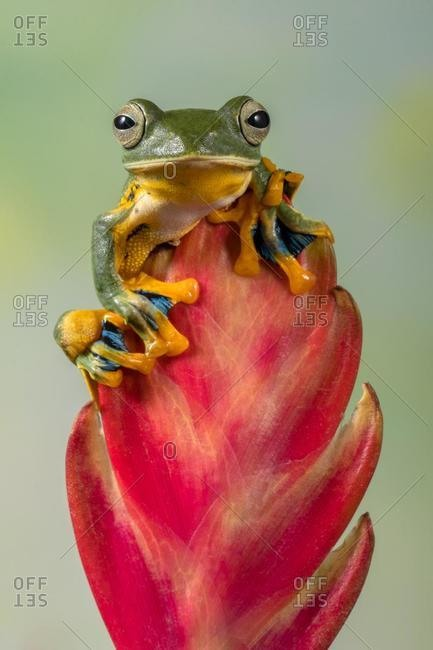 Portrait of a frog on a red flower bud, Indonesia