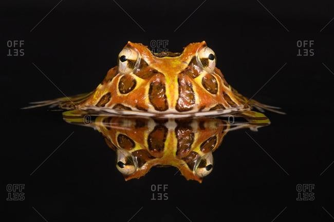 Portrait of a pacman frog submerged in water, Indonesia