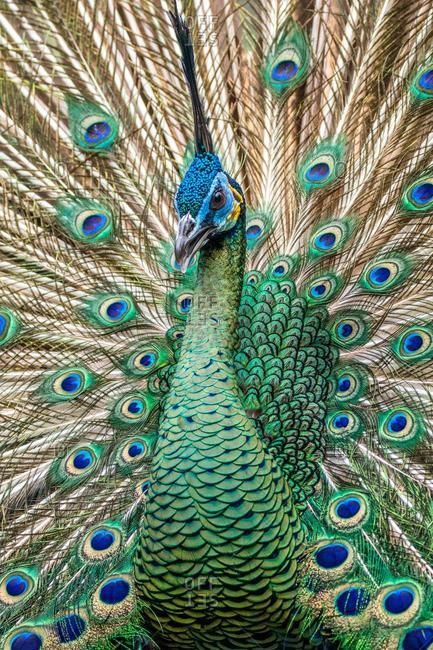 Close-up portrait of a peacock, Indonesia
