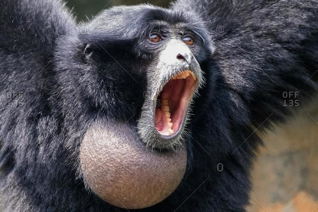 Portrait of a screaming Siamang, Indonesia