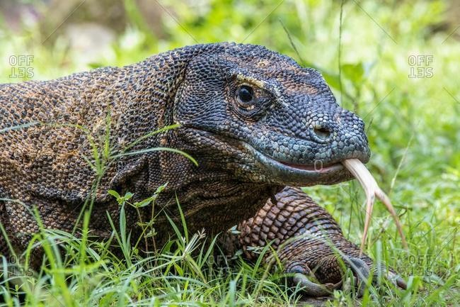 Portrait of a komodo dragon walking in the grass, Komodo National Park, East Nusa Tenggara, Indonesia