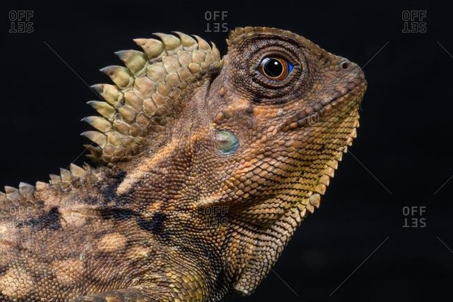 Portrait of a forest lizard, Indonesia