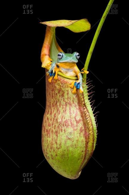 Frog sitting in a tropical pitcher plant, Indonesia