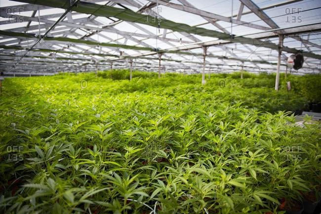 Greenhouse filled with cannabis plants, USA