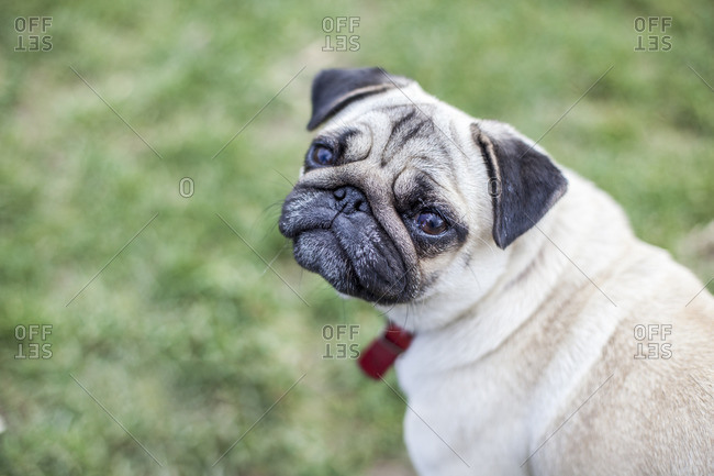 A pug sitting in a meadow and looking into the camera