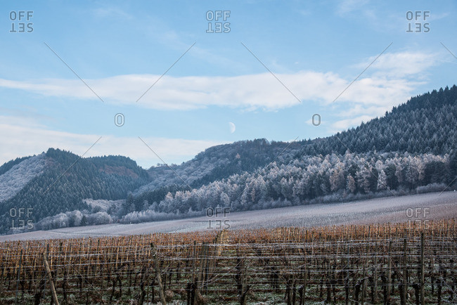 Vineyard at the Moselle in winter near Riol, Rhineland-Palatinate, Germany