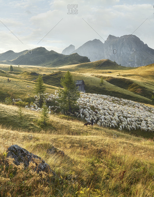 Flock of sheep, shepherds, Passo di Giau, Veneto, Italy