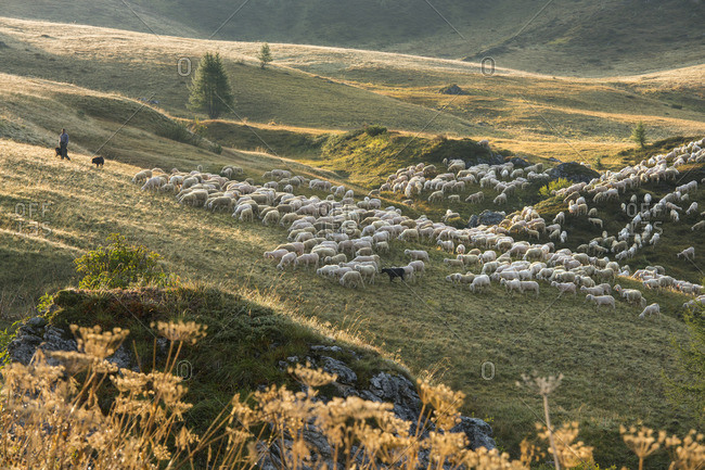 September 8, 2017: Flock of sheep, shepherds, Passo di Giau, Veneto, Italy