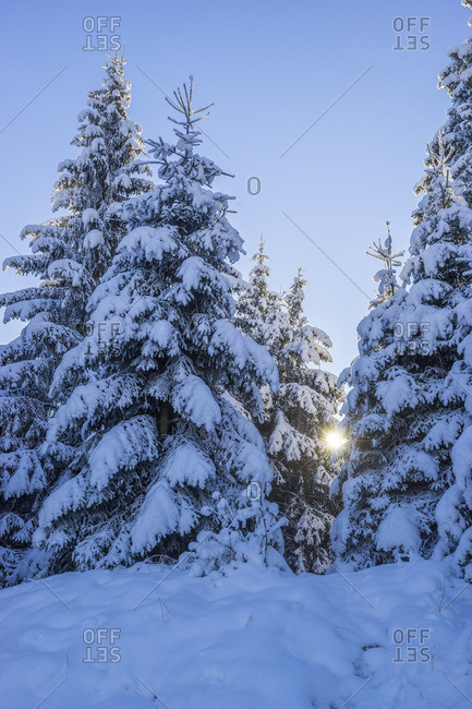 Germany, Lower Saxony, Harz National Park, firs in the snowy Harz National Park in the morning
