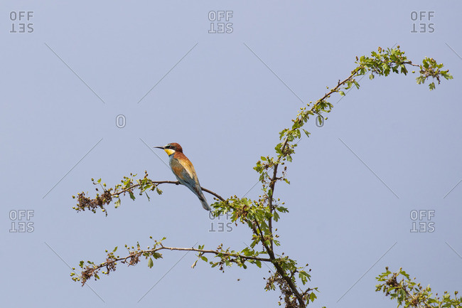 Bee-eater, Merops apiaster, sits on branch