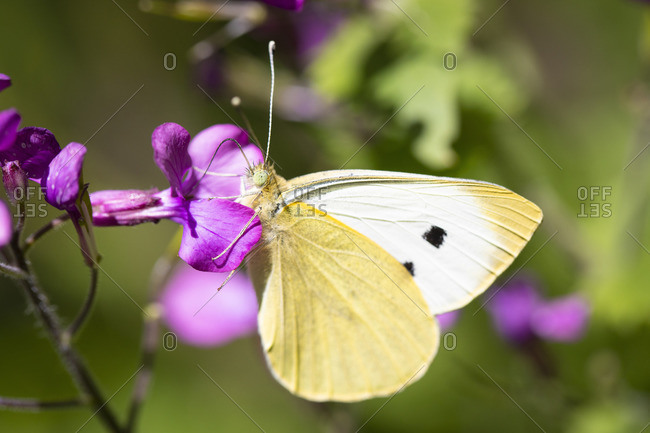 Great cabbage white, Pieris brassicae, at Phlox