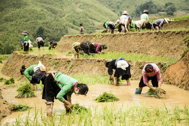 May 28, 2014: Harvest in the rice fields of Vietnam