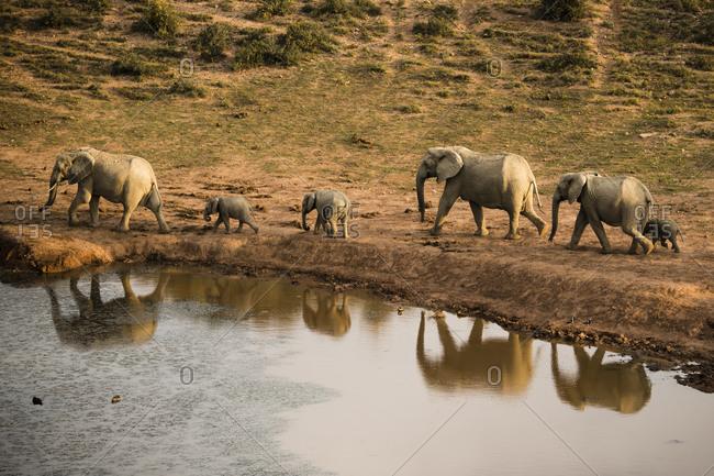 Elephant herd at waterhole in evening light