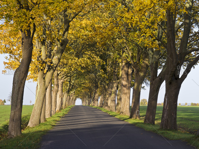 Europe, Germany, Mecklenburg-Western Pomerania, Island Rugen, maple avenue near Gingst