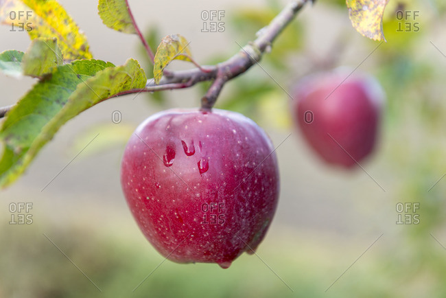 Apple tree with ripe apples,