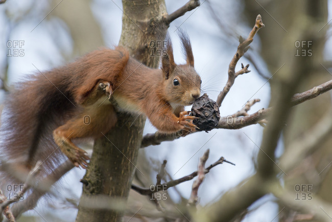 Squirrel, Sciurus vulgaris, on a nut tree,