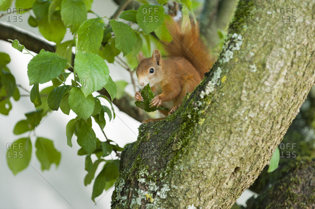 Squirrel, Sciurus vulgaris, eats aphid-infested leaves of a plum tree,