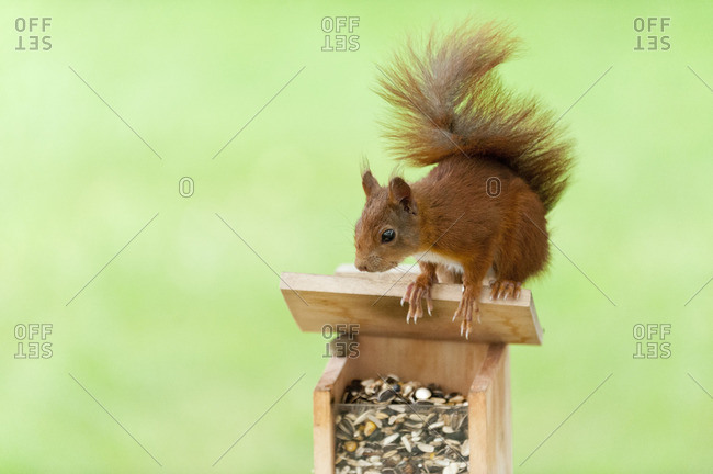 Squirrel, Sciurus vulgaris, near a feeding ground,