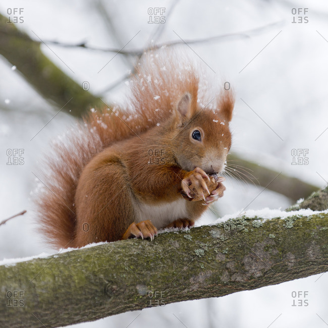 Squirrel, Sciurus vulgaris, during winter on a tree,