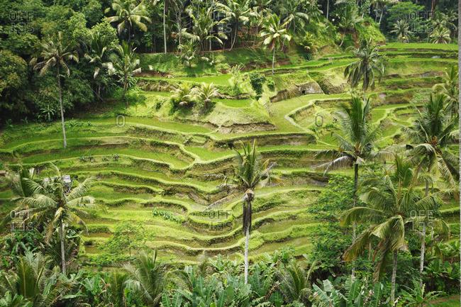 Sumatra, Bukit Lawang, rice terraces