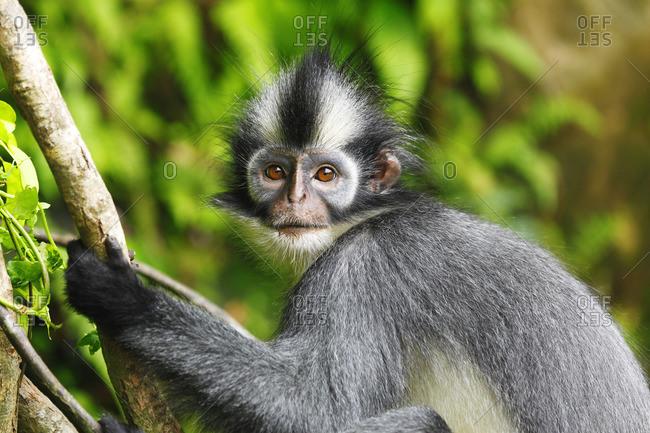 Sumatra, Bukit Lawang, Thomas's langur , Presbytis Thomasi