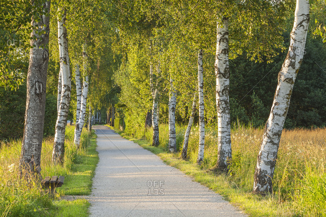 birch avenue to Chiemsee in Felden, Chiemgau, Upper Bavaria, Bavaria, southern Germany, Germany, Europe