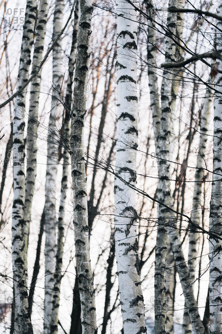 Group of birch trees right at Obersee Reservoir in Bielefeld