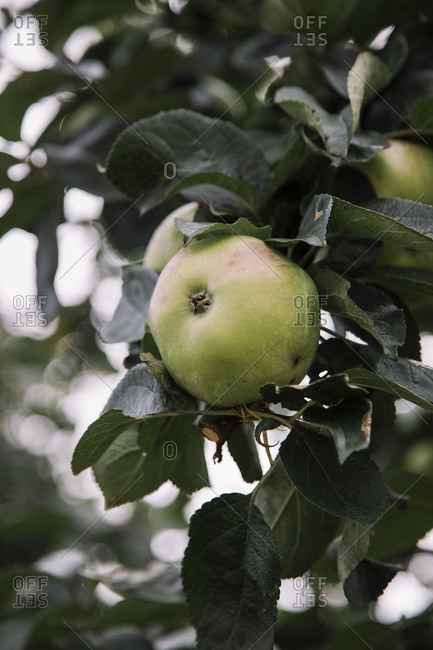 Green apples on a tree in August