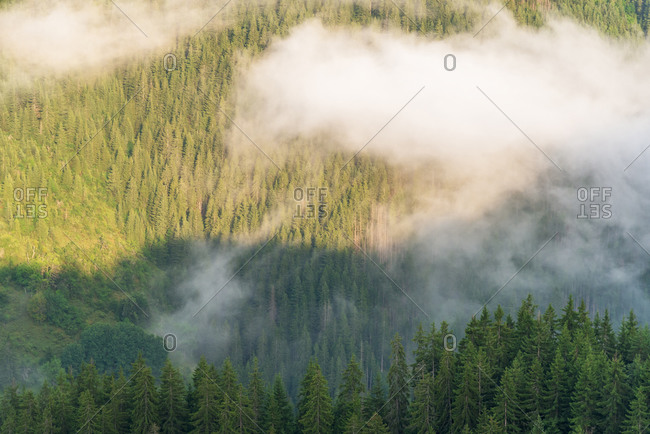 Aerial of pine forest with flowing fog.