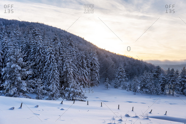 Forest pine trees in winter covered with snow in evening sunlight
