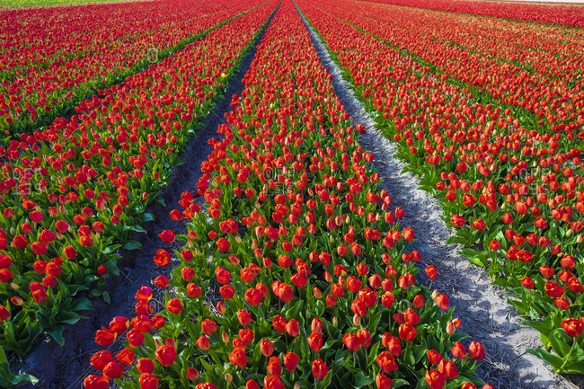 Dutch tulips in bloom in a bulb field in  early spring, Lisse, Netherlands