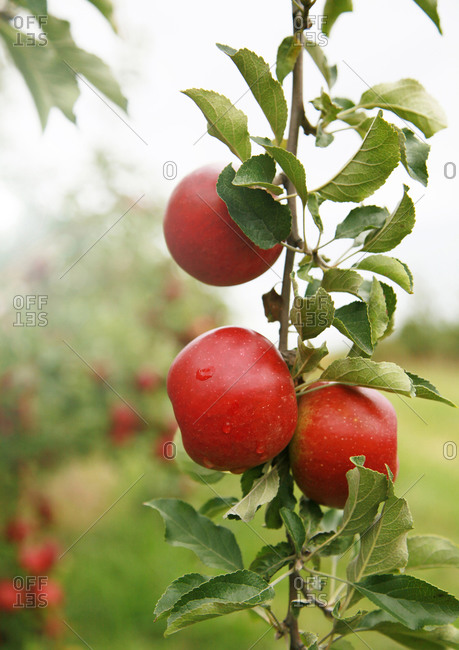 Apple Tree detail in Orchard
