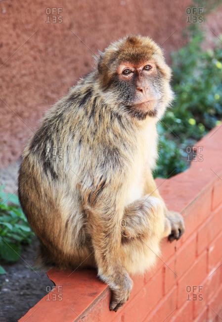 Monkey Sitting on Ledge the Rock of Gibralter
