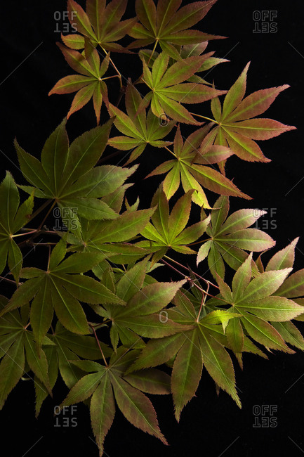 Detail of Red Maple Leaves on Black Background