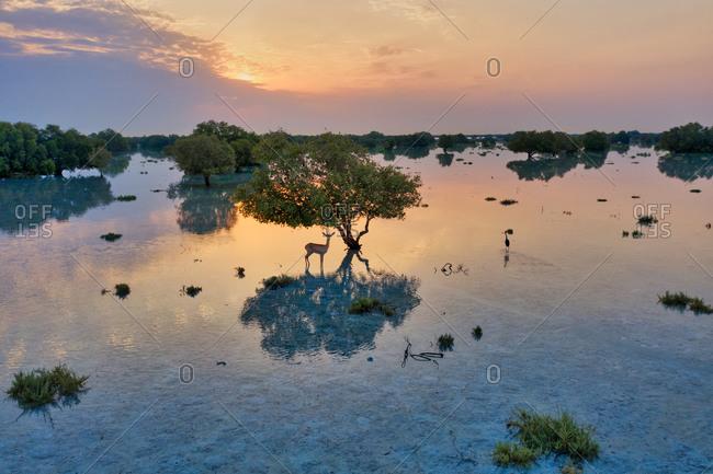 Aerial view of dear under a tree at flooded vegetation at Abu Al Sayayif during sunset, Abu Dhabi, UAE.