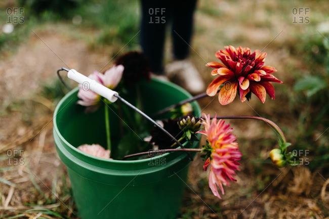 Fresh picked dahlias in a bucket