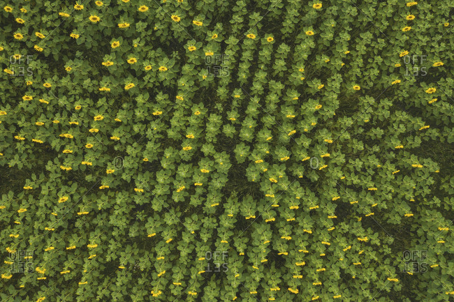 Germany- Brandenburg- Drone view of vast sunflower field