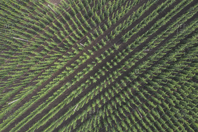 Germany- Saxony-Anhalt- Drone view of vast hops field