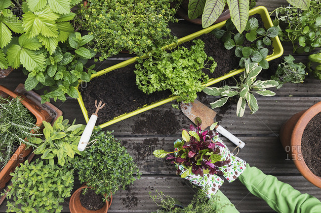 Hands of woman planting various culinary herbs and vegetables