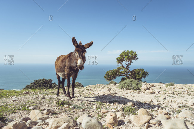 Donkey standing on a cliff against horizon- Essaouira Province- Morocco