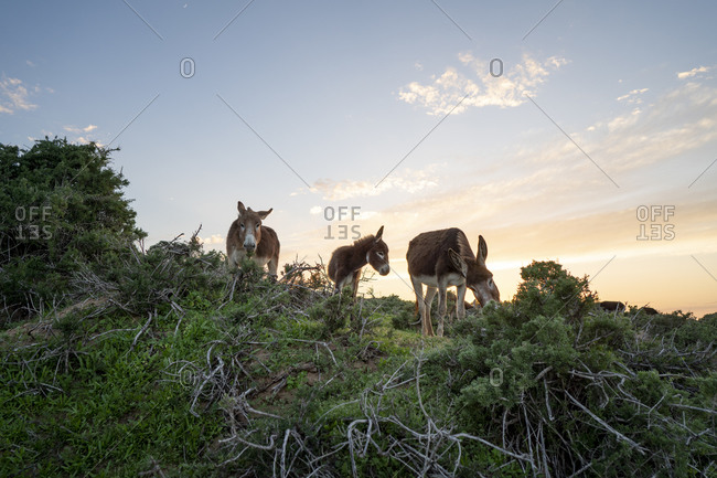 Three grazing donkeys- Tafedna- Morocco