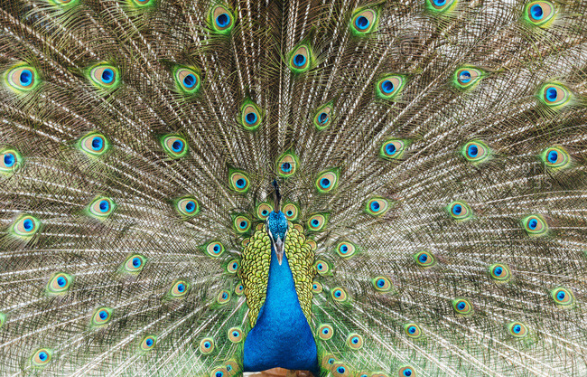 Malaysia- Portrait of peacock fanning out tail